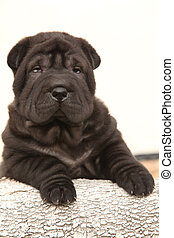 Beautiful Shar Pei puppy on white background - Beautiful...