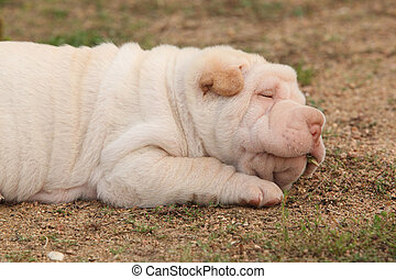 Adorable sharpei puppy lying in the garden