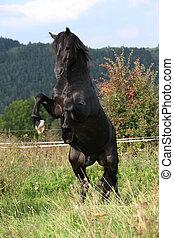 Beautiful black horse prancing on pasturage in autumn