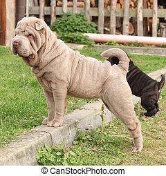 Young sharpei looking and standing in the garden