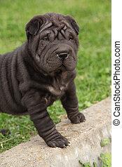 Nice black sharpei puppy in the garden