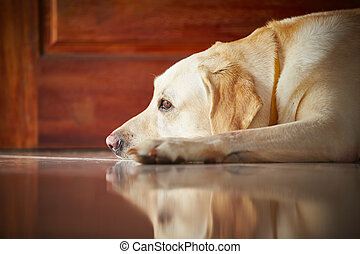 Dog at home - Labrador retriever is lying in door of the...