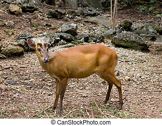 Indian muntjac - The Indian muntjac (Muntiacus muntjak) is...