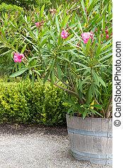 Blooming azalea in the garden