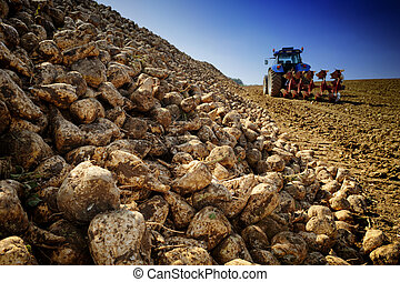 Agricultural vehicle harvesting sugar beet on cultivated...