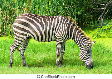 Zebra on the plains in the zoo