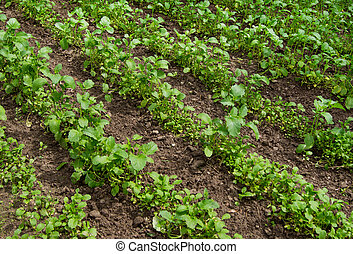 field with blossoming plant Brassica napus, for manufacture...
