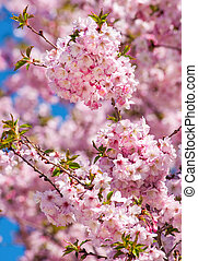 Cherry Blossom Tree - Sky full of cherry blossoms on spring...