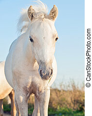 portrait of cremello  welsh  pony  filly