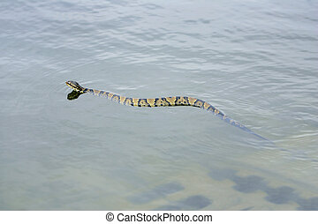 water moccasin - one water moccasin swimming in the dark...