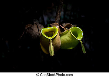 Wild Tropical Pitcher Plant