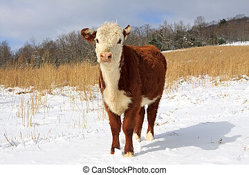 Young Hereford - A young Hereford steer bullock grazing in a...