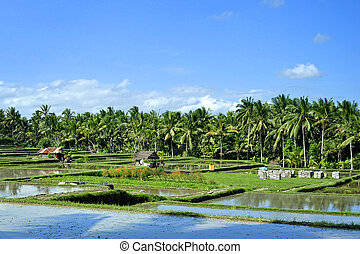 Rice Terraces in Ubud, Bali - Wet rice terraces in Ubud,...