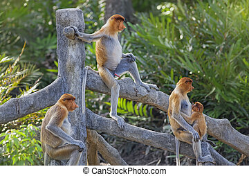 Proboscis monkeys in the mangrove in Labuk Bay, Borneo