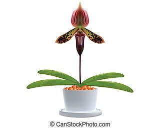 Paphiopedilum - Ladys slipper orchid Paphiopedilum Callosum...