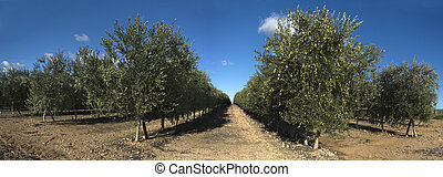 Rows of olive trees, panoramic - Intensive olive tree...