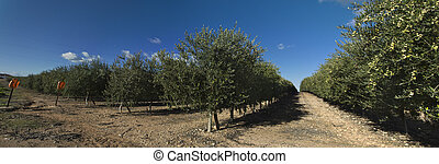 Intensive cultivation of olive trees - Intensive olive tree...