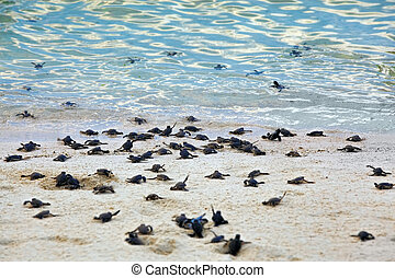 Turtle Hatchlings taking their first steps down the beach...