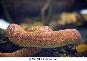 Green Bush Viper, Atheris Squamigera