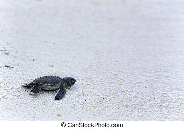Green Turtle Hatchlings - Green Sea Turtle Hatchling making...