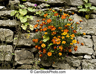 Beautiful marigolds close-up growing from stone wall