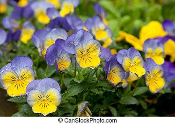 violettes, fleurs