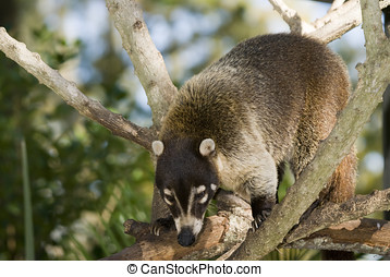 Coatimundi - Closeup of Coatimundi nasua nasua climbing in...