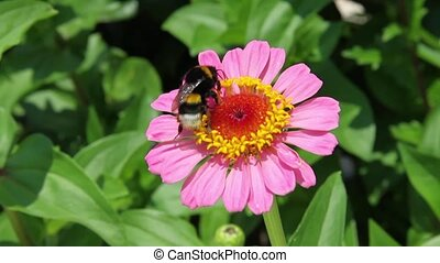 Bumble Bee on pink Zinia flower