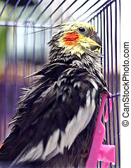 Cockatiel - A Cockatiel after washing with wet feather