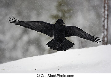 Raven, Corvus corax, flight, Finland, winter