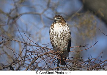 Red tailed hawk, Buteo jamaicensis, single bird on tree, New...