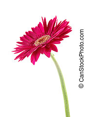 Pink gerber daisy in isolated white