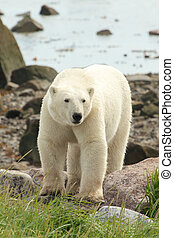 Polar Bear on the shore