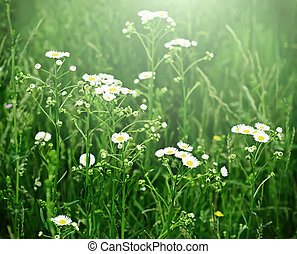 Wild chamomile flowers growing on green meadow, retro...