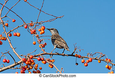 Spotted starling eating fruits in an apple tree