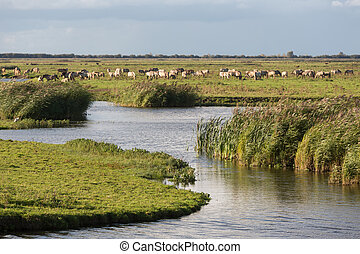 Dutch wetland with horses in National Park...