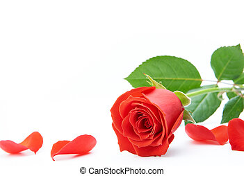 rose and petals isolated on white background