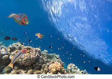 Thalassoma Klunzingeri and Hard corals in the Red Sea, Egypt...