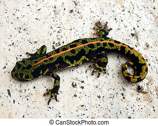 Juvenile Marbled Newt Triturus marmoratus on a marbled floor...
