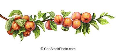 maduro, rojo, manzanas, rama
