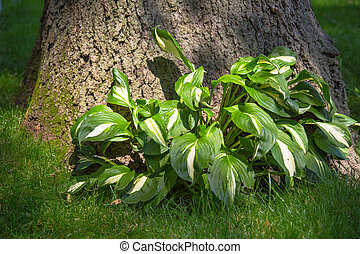 Hostas Plant - Leafy hostas plant under a shady tree