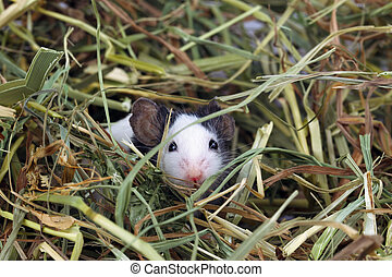 Little mouse sitting in the hay - Little japanese mouse...