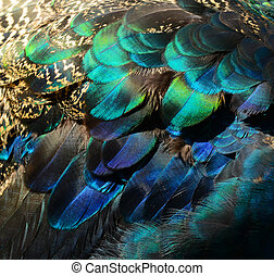 colorido, Pavo real, plumas