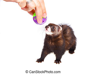 Ferret kit in and toy