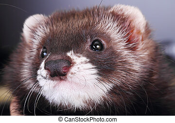 Portrait of a little ferret