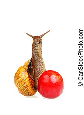 Snail on the sweet cherry - Grape snail sitting on the sweet...