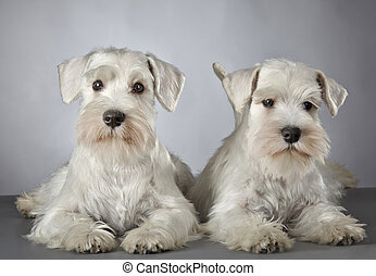 white miniature schnauzer puppy 3 month old