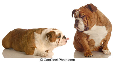 bulldog bullying - english bulldog sticking her tongue out...
