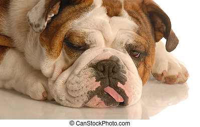 ugly dog - english bulldog with silly expression and tongue...