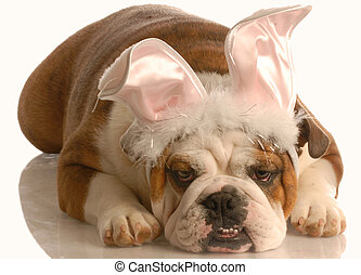 dog dressed as easter bunny - english bulldog laying down...